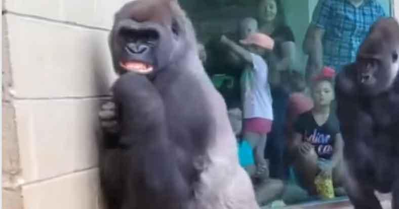 Ayaw rin pala ng mga Gorilla sa ulan